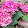 庭に紫陽花を植えてみた。作業療法日記(園芸)