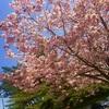 桜餅って関西と関東でちがうんや!