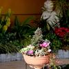12月16日  マンション玄関、花壇 ビワの花注目。