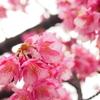 木場公園裏手の河津桜