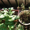 じゃがいもに芽が出たのでプランターに植えたら再生しました。