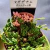 🌵多肉植物  植え替え作業⑤ヌビゲナム他🌵
