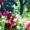 港の見える丘公園のイングリッシュローズガーデンのバラの写真撮影に再チャレンジ!!山下公園のバラも見頃でした!!