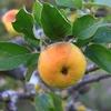 イタリアひとり旅㉚【後半:トスカーナ編】ワークアウェイのミッションその3:りんごのドライフルーツを作る