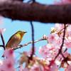桜にメジロ 03/09