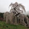 樹齢は推定250年 高さ約13mの巨木 須坂市「弁天さんのしだれ桜」