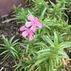 #3 シバザクラ 季節外れの花