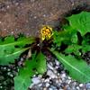 たくましく咲く集合花のタンポポ