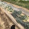 秋冬野菜エリアのキャベツとハクサイを整理しました