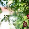鮮やかな赤やピンク:初夏の庭の花(4)
