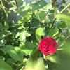 バラ🌹が開花しました。