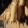 グアテマラを代表する食べ物その1「トウモロコシ」