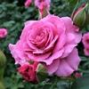 春だけじゃない…秋に咲く麗しい約370種のバラ~◆続◆中之条ガーデンズ(群馬県)~