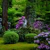 京都・大原 - 三千院の石楠花