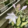 フランシーとレボリューションの開花