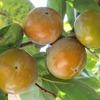 実りの秋 果実と木の実