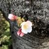 ひこばえの桜の花が咲いた
