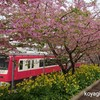 河津桜(三浦海岸)