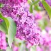 ライラックという花の「花言葉」
