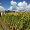 トラブルはありましたが、完全無農薬有機栽培米「コシヒカリ」の稲刈