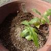 ロウバイ 移植と種植え Chimonanthus praecox
