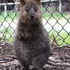 クオッカに会いに行こう!地球上で最も幸せな動物はオーストラリアにいた!!