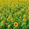 この夏に行きたい!関西のおすすめひまわり畑|兵庫編