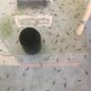 孵化後16日目の穂竜稚魚