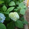 ふたたび紫陽花の季節、ふたたび餃子定食