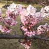 相模原公園のさくら 満開! (2020年3月7日)