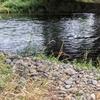 旭川市、忠別川に夕方だけ魚釣りに行きましたが、、、