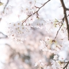 吉野で桜撮影 vol.2