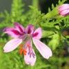 センテッドゼラニウムの花