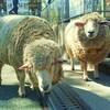 2017年GWデート 無料イベント情報・羊の毛刈り