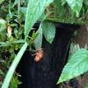 本日の気温36℃...なのでセミの幼虫も受難です