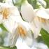 北高上緑地で27日、Japanese Snowbellが開花しました。5弁のかわいらしい白い花が、枝先にぶら下がるような格好で咲いています。