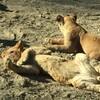 群馬サファリパーク|冬の混雑状況は?寒い時期のおすすめ動物園:群馬県富岡市