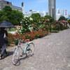 大通公園のバラ