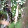 アズキヒロハシ(Banded Broadbill)など
