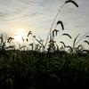 中晩稲の「秋の詩」の稲刈りを開始しました。