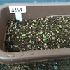 プランター栽培で小松菜を無限に育てたい。3日で発芽したけどこの後育つのだろうか・・・。