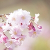 桜に寄せて