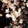 桜のヨウリョク