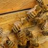 HIVから世界を救う!?ミツバチの毒の科学