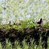 畦道に並ぶムナグロたちの間にいた、胸がオレンジ色の夏羽のトウネン