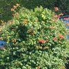 ノウゼンカズラはまだ咲いている