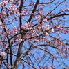 邑智小学校に桜咲く!