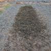 ジャンボ落花生の収穫終了