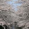 【写真複製・写真修復の専門店】目黒川の桜をリアルに