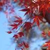 紅葉の森の満開の下